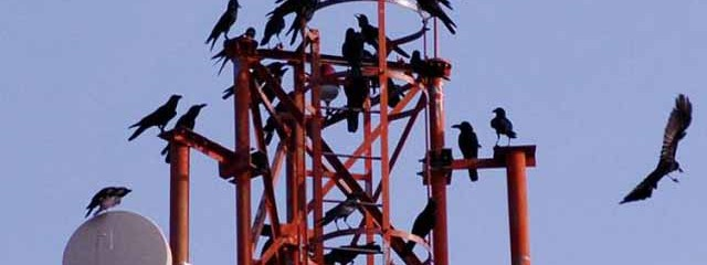 Crows Caught on Camera Fashioning Special Hook Tools