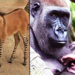 Rare 'Zonkey' (Zebra-Donkey) Born in Mexico; Two Baby Gorillas Born at Bronx Zoo