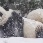 Watch This Panda Cub Roll Around in the Snow For the First Time – Like a Drunk Teddy Bear
