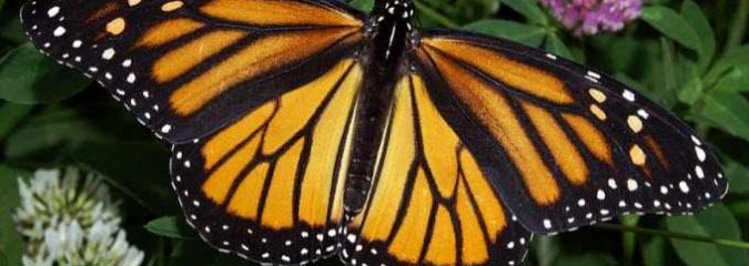 Monsanto Donates Money to Save the Same Butterflies They're Killing