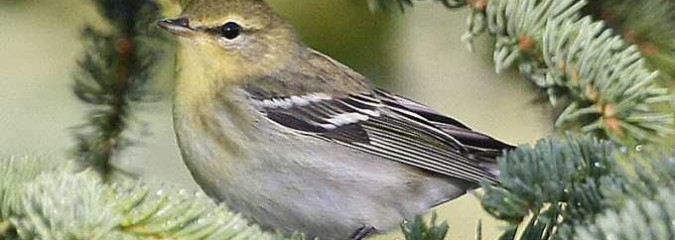 Tiny Songbird Discovered to Fly 1,700 Miles Non-Stop Over Open Ocean