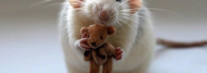 Japanese Study Suggests Rats Are Altruistic & Empathetic