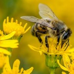 BEE Aware: White House Plan to Save Pollinators Fall Short