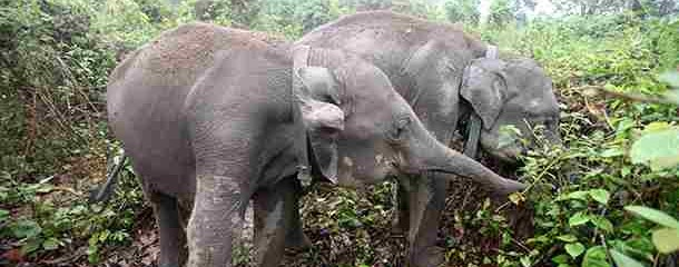 2 Rehabilitated Elephant Calves Successfully Return to the Wild in India