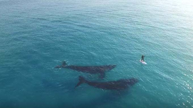 Breathtaking Footage Of a Paddleboarder's Beautiful Encounter With Two Whales
