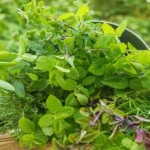 Winter Gardening Tips: How To Plant An Indoor Healthy Herb Garden