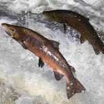 FDA Approves First GMO Animal: Salmon To Be Sold With No GMO Label
