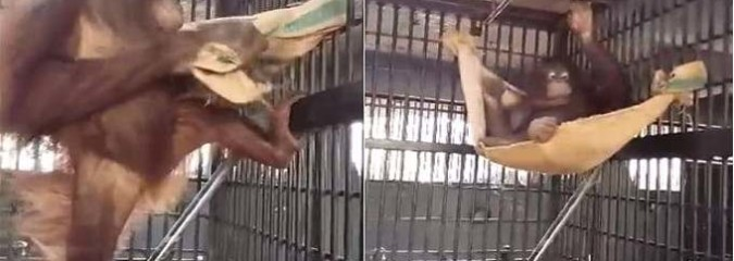 You Won't Believe Your Eyes: Orangutan Makes a Hammock Out of Her Blanket