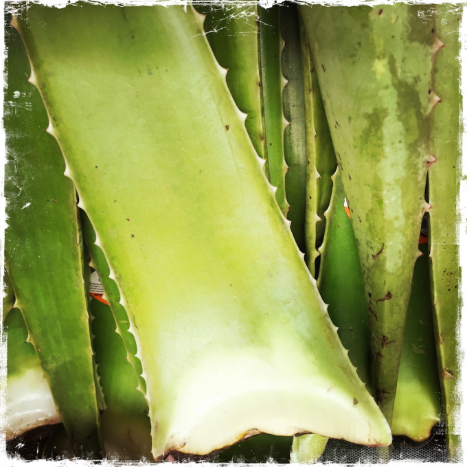 """A Super Easy Way to Reap the Benefits of the Aloe Vera Plant, Barbara Sinclair for Conscious Life News"