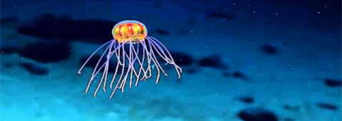 New Jellyfish Looks Like an Alien Spacecraft
