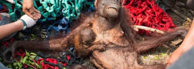The Beloved Orangutan is Being Wiped Out by Corporate Greed