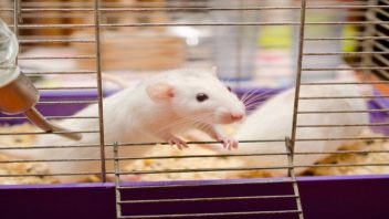 """Are Mice Empathic? New Study Shows They Respond to Pain """"Transferred Socially"""""""