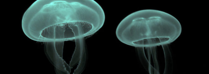 The Biosolar Revolution: How Jellyfish May Help Solve The Energy Crisis