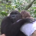 Wild Gorillas Remember Their Former Caretakers 11 Years Later [Watch]