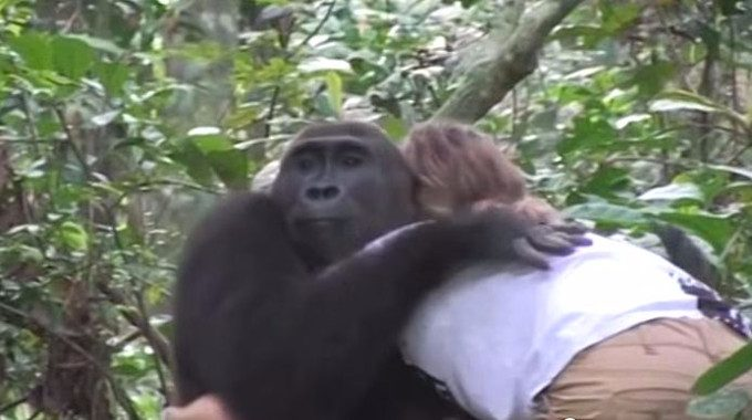 gorilla-hug-tansy-aspinall-foundation-compressed