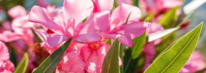Oleander Extract: Traditional Turkish Remedy Successfully Fights Cancer