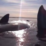 Kayakers Weren't Expecting THIS When They Approached A Pod Of Whales [Watch]