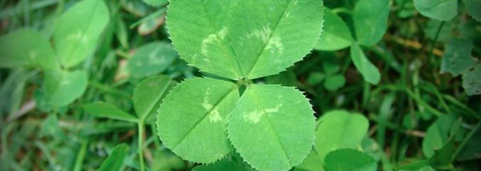 Are Four-Leaf Clovers Lucky? 10 Fun Facts About this Traditional Irish Talisman