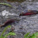 Hard Evidence Shows That Farm Salmon Is Destroying Wild Salmon