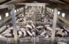 Gulf of Mexico Is Now World's Largest Dead Zone – Run Off from U.S. Factory Farming Is to Blame