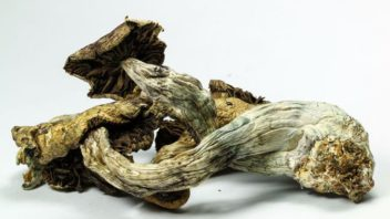 """Psilocybin Appears To """"Reset"""" Brain Activity of Depressed Patients – Stunning Results"""